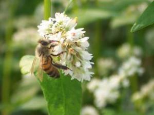 Buckwheat blog entry